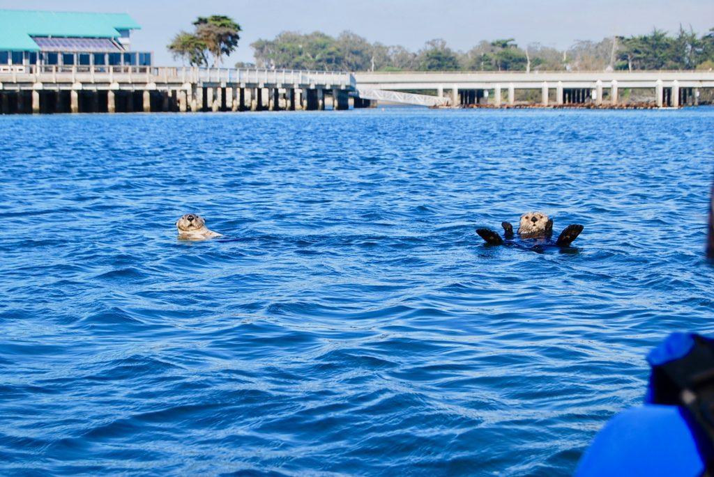 海に浮かんでこちらを見つめるラッコたち