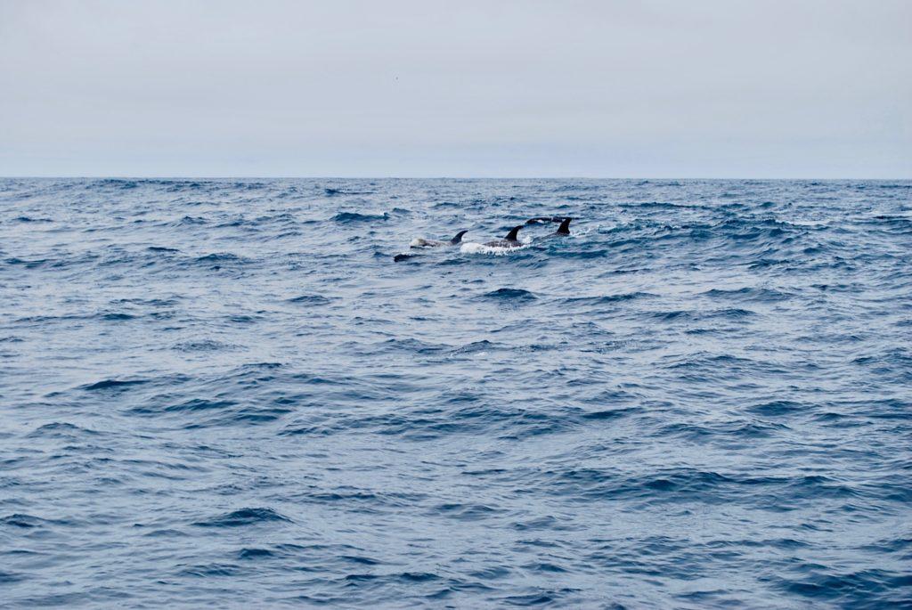 荒れた海を泳ぐイルカの群れ