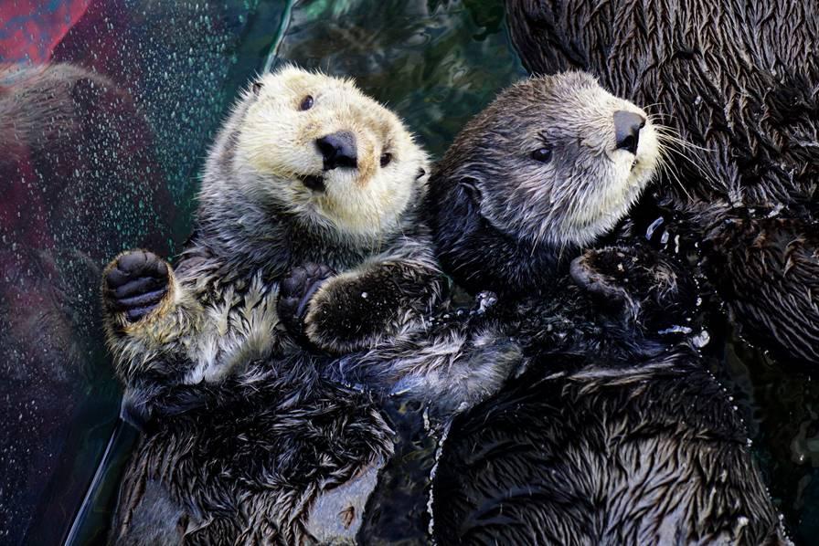 水槽に浮かぶラッコの兄弟