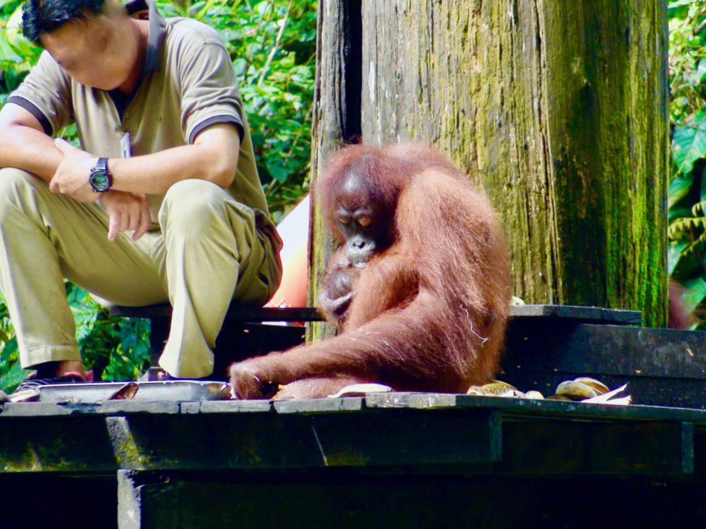 オラウータンの食事を見守る飼育員