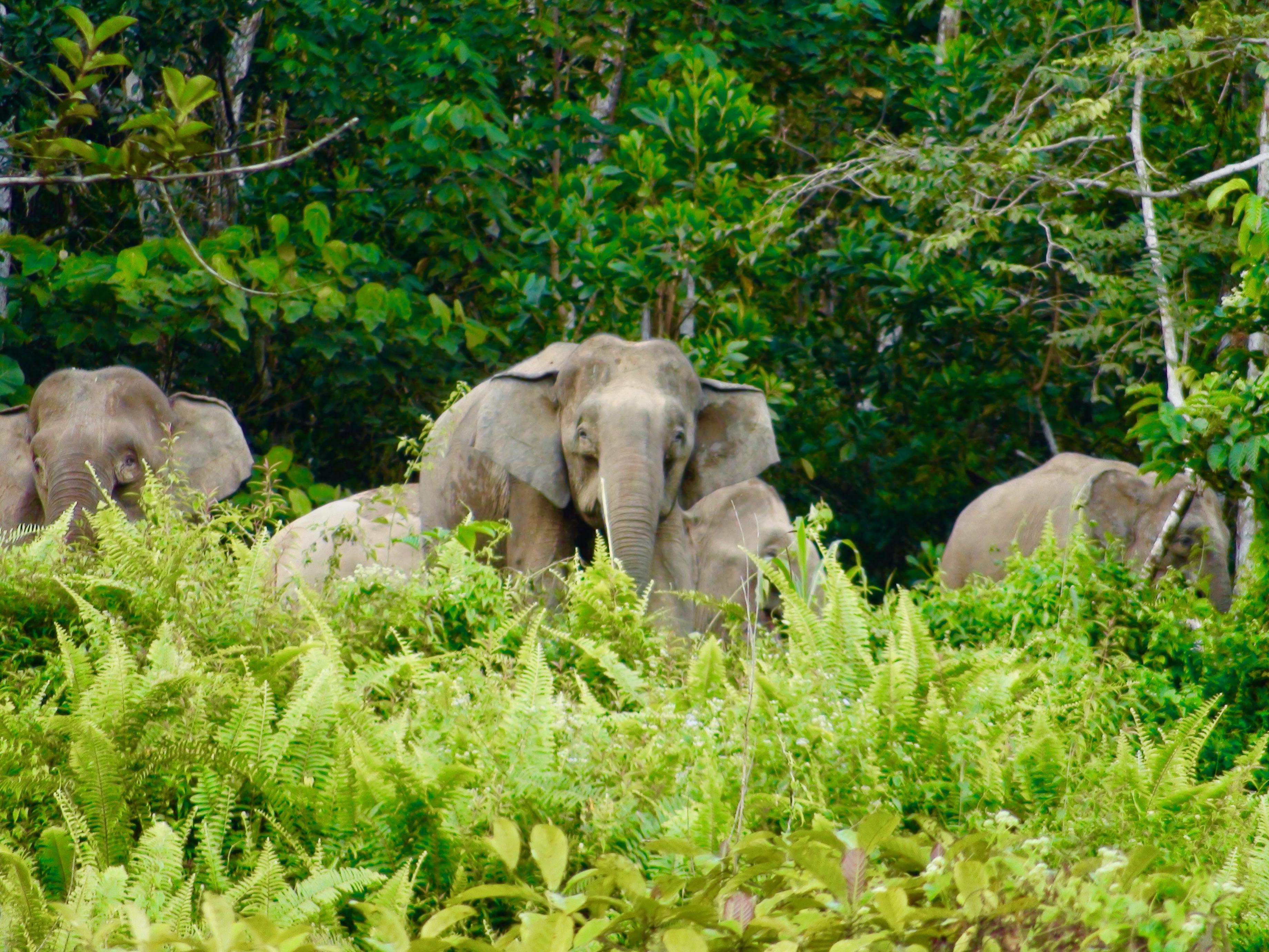 ボルネオゾウの大群と遭遇