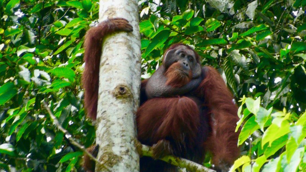 木の枝に座るオラウータン