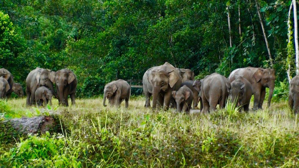 赤ちゃんや小ぞうがいるボルネオゾウの群れ
