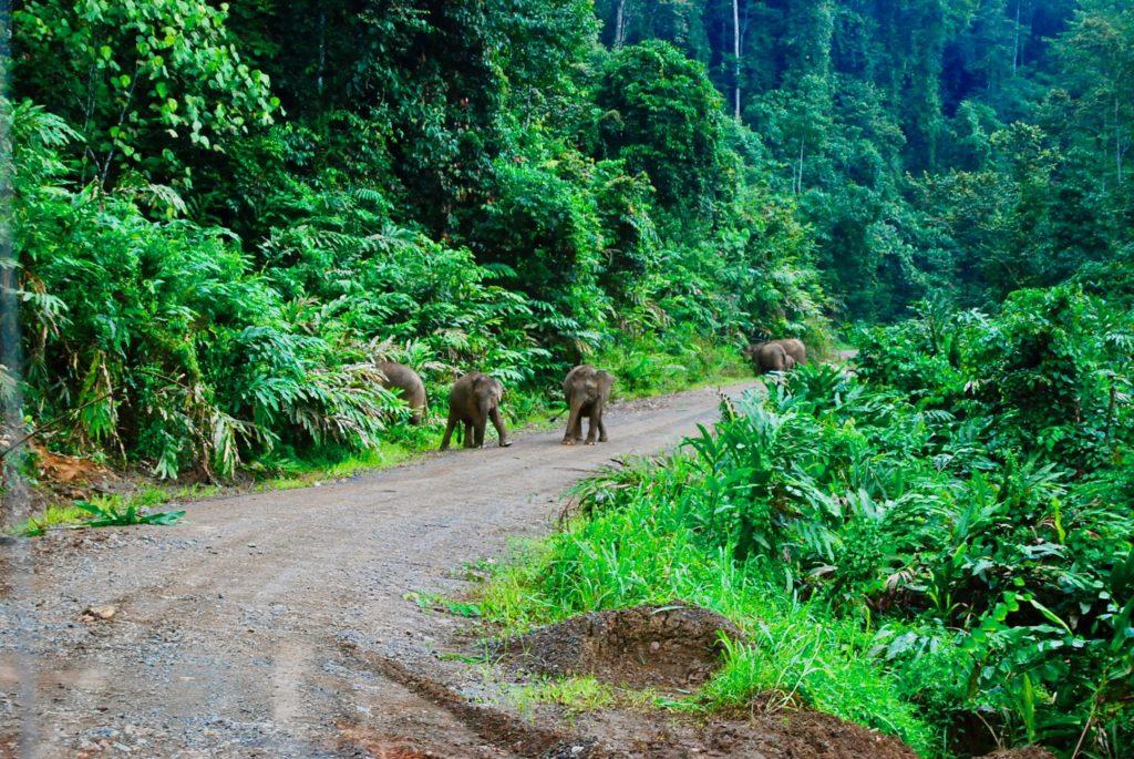 続々と道路に姿を現すボルネオゾウ