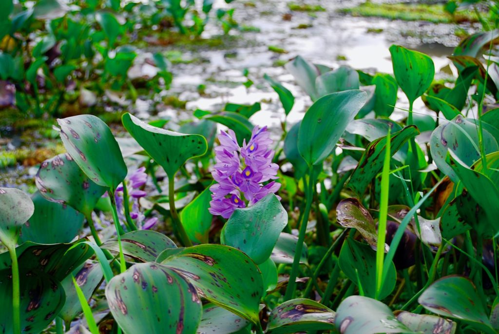川岸に咲いている紫の花