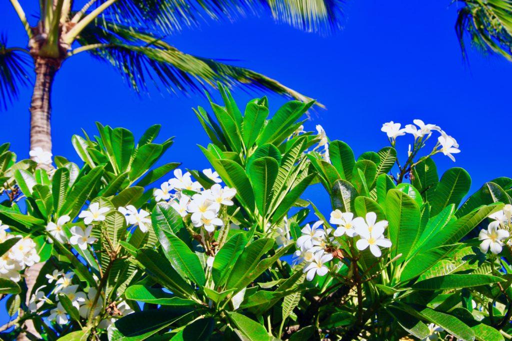 カウアイ島のショッピングモールに咲いていた花