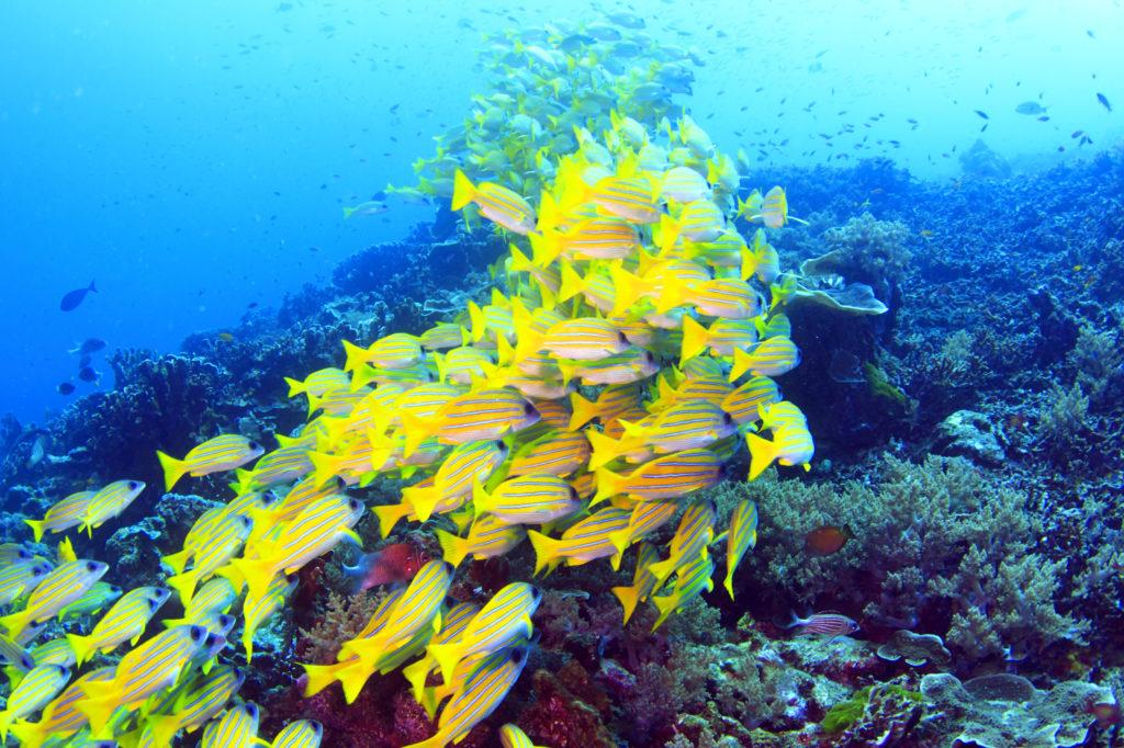 珊瑚礁の海中を泳ぐ黄色い魚の群れ