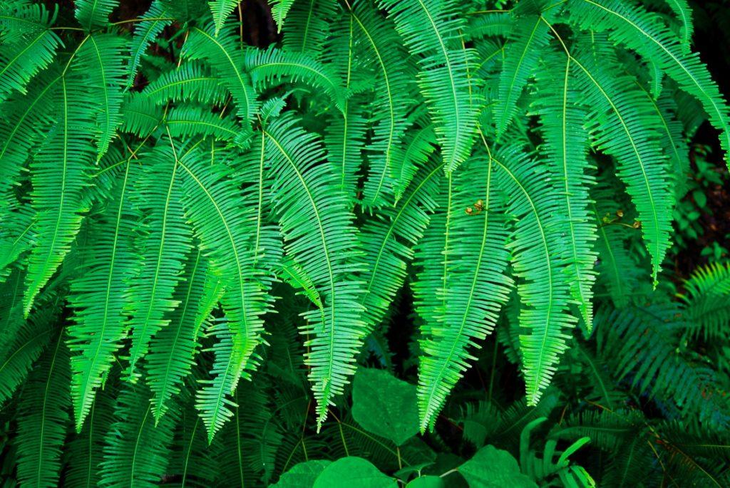 ボルネオの熱帯雨林に茂るシダ