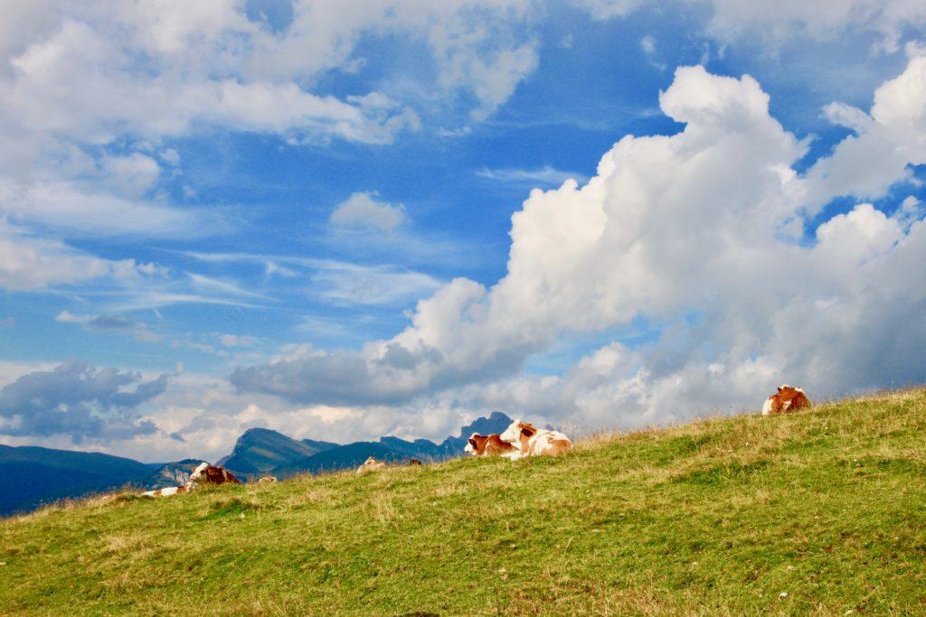 草原で転がる牛