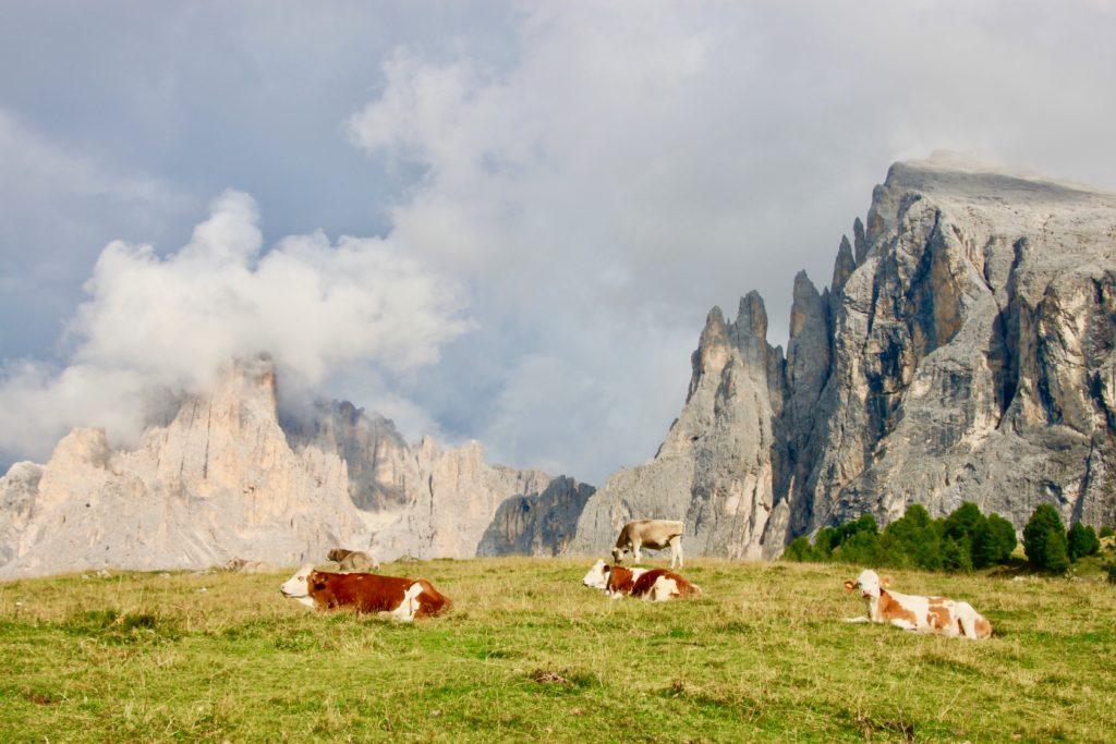草原で寝転ぶ牛たち