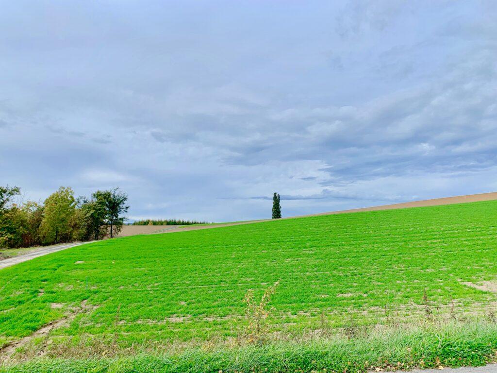 美瑛町の緑の丘と一本杉