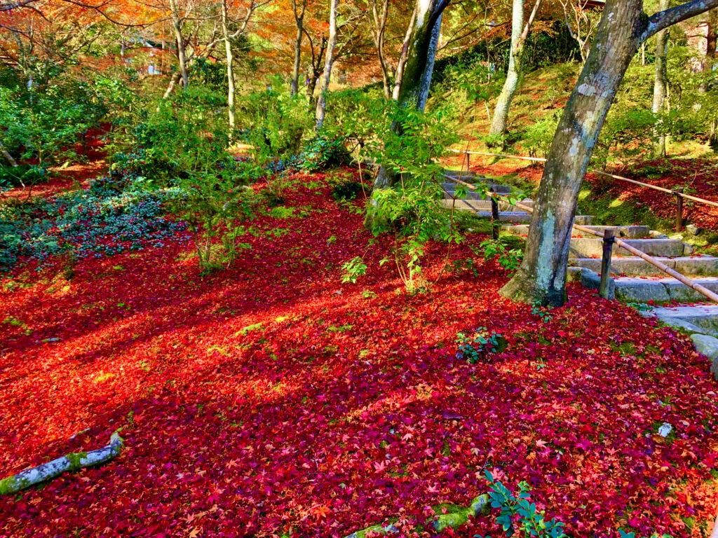 赤い絨毯のように見える敷きもみじ