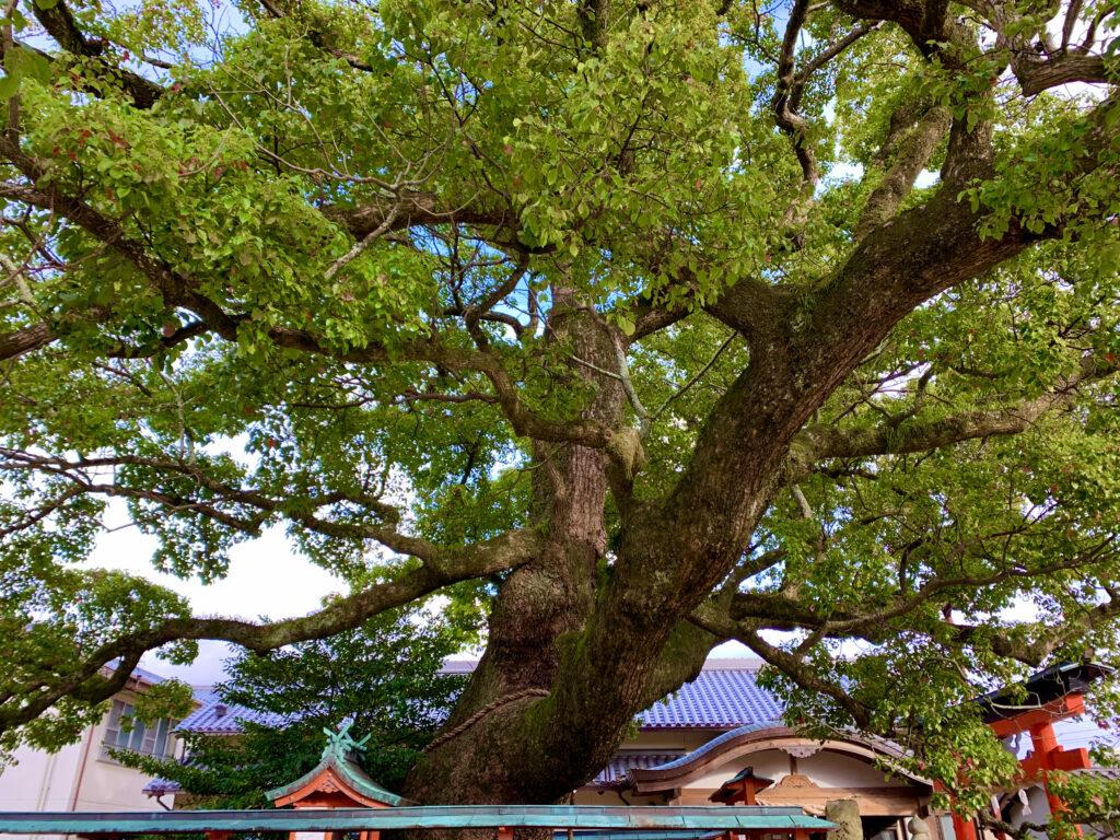龍田神社の御神木